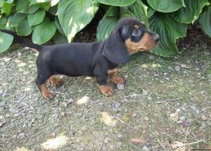 sweet Dachshund puppies ready for a forever home FOR SALE ADOPTION