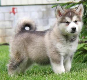 Alaskan Malamute puppies with a friendly nature FOR SALE ADOPTION