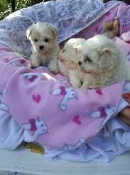 Beautiful mini Maltese puppies for sale FOR SALE ADOPTION