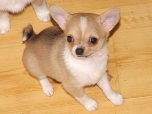 Chihuahua Puppies For Adoption FOR SALE ADOPTION