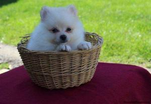 Cute and lovable Pomeranian Puppies FOR SALE ADOPTION
