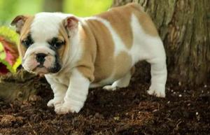 English Bulldog puppies excited to meet their forever family FOR SALE ADOPTION