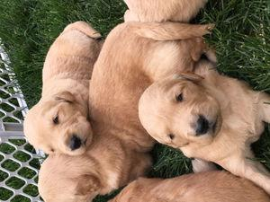 Golden retriever puppies for sale FOR SALE ADOPTION