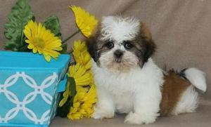 Healthy Shih Tzu puppies FOR SALE ADOPTION