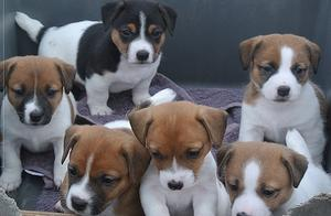Jack Russel Puppies For Sale FOR SALE ADOPTION