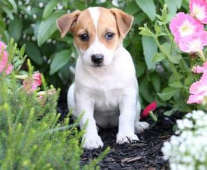 Jack Russell Terrier Puppies For Adoption FOR SALE ADOPTION
