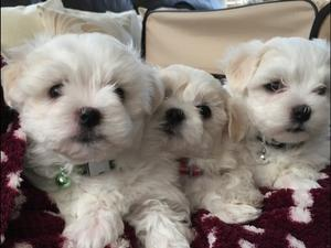 Outstanding Potty Trained Maltese Puppies FOR SALE ADOPTION