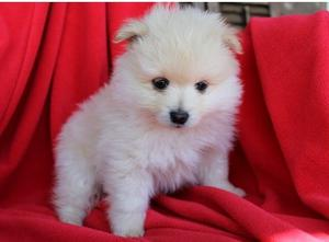 Pomeranian Puppies For Adoption FOR SALE ADOPTION