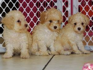 Toy Poodle puppies FOR SALE ADOPTION