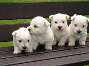 West Highland White Terriers puppies FOR SALE ADOPTION