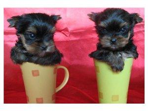 Yorkshire Terrier for a new home FOR SALE ADOPTION