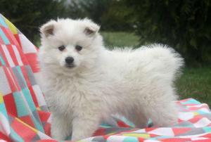adorable Eskimo puppies ready to make you smile FOR SALE ADOPTION