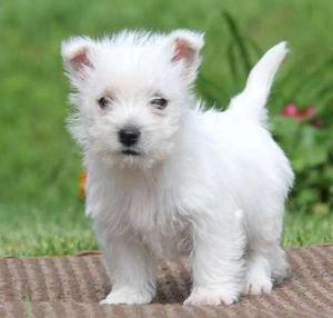 adorable West Highland Terrier puppies FOR SALE ADOPTION