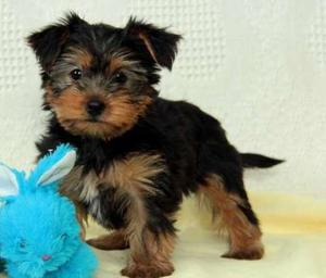 bouncy Yorkshire Terrier puppies with a curious nature FOR SALE ADOPTION