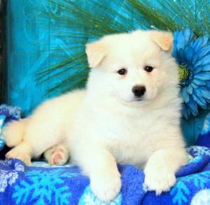 lovable Samoyed puppies ready for a forever home FOR SALE ADOPTION
