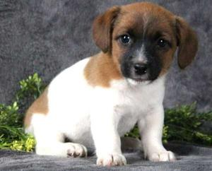 very sweet Jack Russell Terrier puppies FOR SALE ADOPTION