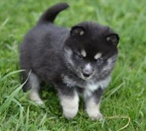 Beautiful Pomsky Puppies FOR SALE ADOPTION