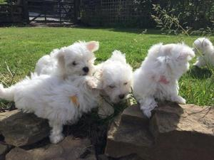 Maltese puppies ready for their new homes FOR SALE ADOPTION
