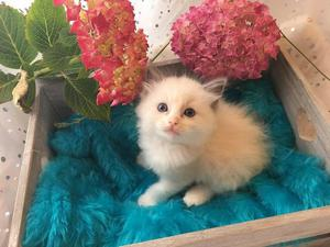 Gorgeous Pedigree Ragdoll Kittens Ready Now FOR SALE ADOPTION