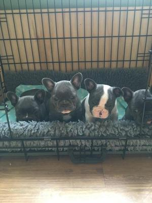 Stunning Blue French Bulldog Puppies ready now FOR SALE ADOPTION