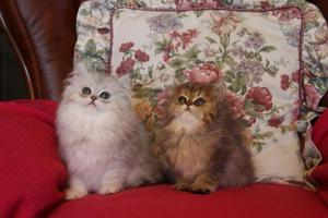 Very pretty Persian Kittens looking for new loving homes FOR SALE ADOPTION