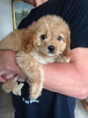 Cavapoo Boys And Girls Ready Now FOR SALE ADOPTION in Canada @ Adpost.com Classifieds > Canada > # Cavapoo Boys And Girls Ready Now FOR SALE ADOPTION in Canada,free,canadian,classified ad,classified ads