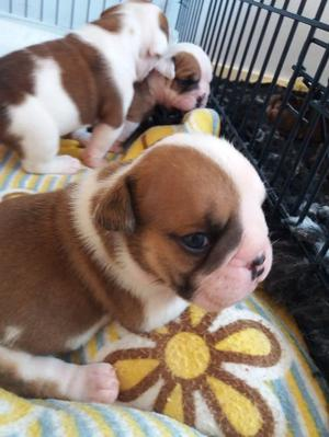 English bulldogs here FOR SALE ADOPTION