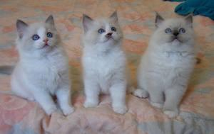 Outstanding Ragdoll kittens ready to go to forever home FOR SALE ADOPTION