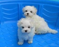 2 beautiful Maltese puppies to re home Text  FOR SALE ADOPTION