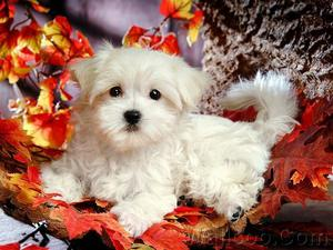 AKC Teacup Size Maltese Puppies Text  FOR SALE ADOPTION
