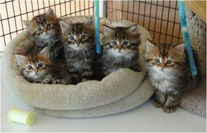 Perfect Siberian Forest Kittens For Loving Homes FOR SALE ADOPTION