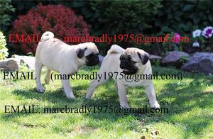 Top quality Male and Female Pug puppies 100 Purebred FOR SALE ADOPTION