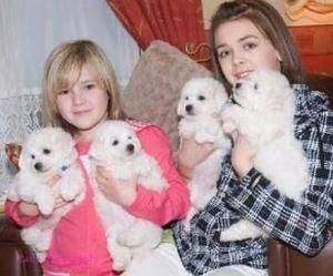 Excellent Bichon Frise Puppies FOR SALE ADOPTION