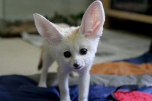 lovely and cute Fennec Fox ready to go now FOR SALE ADOPTION