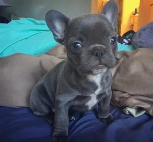 Charming French Bulldog puppies FOR SALE ADOPTION