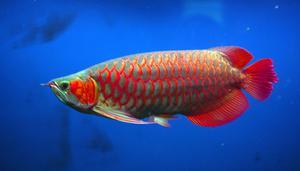 Top quality Grade AAA Arowana fishes