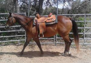 5 years quarter horse gelding for sale FOR SALE ADOPTION