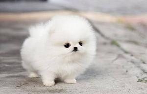 Beautiful Immaculate Quality Ice White Micro Teacup Pomeranian Puppies Availabl FOR SALE ADOPTION