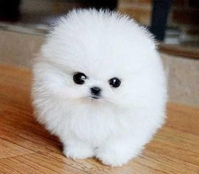Best Ice White Tea Cup Pomeranian Puppies FOR SALE ADOPTION