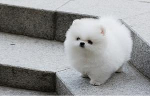 Oh my Oh my Gorgeous Micro Teacup Pomeranian Ice White Puppies Gorgeous FOR SALE ADOPTION