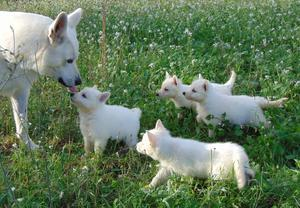Pure Breed Fci White Swiss Shepherd Dog Puppies FOR SALE ADOPTION