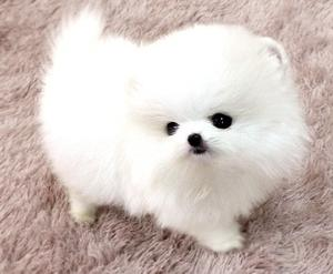 Simply Cute Ice White TeaCup Pomeranian Puppies FOR SALE ADOPTION