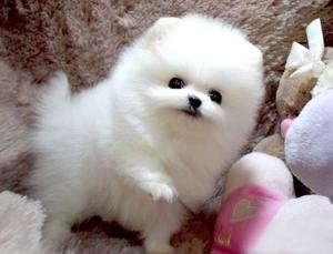 Teacup White Pomeranian Puppies FOR SALE ADOPTION