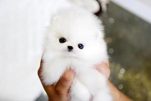 beautiful white poms available FOR SALE ADOPTION