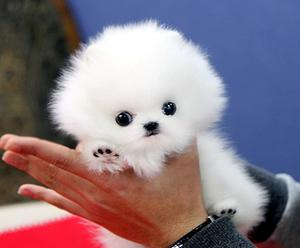 extreme baby faces male and female Pomeranians FOR SALE ADOPTION