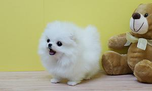 tiny beautiful and very white pomeranian puppies FOR SALE ADOPTION