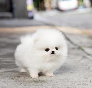 very white Beautiful coats pomeranian puppies available FOR SALE ADOPTION