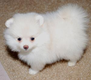 Beautiful Pomeranian puppies FOR SALE ADOPTION