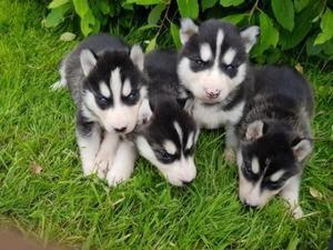 Black and white Spot with blue eyes Siberian husky puppies for re homing FOR SALE ADOPTION