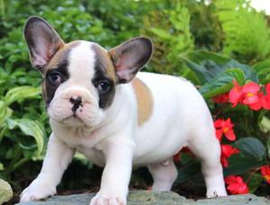 French Bulldog puppies ready to make you smile FOR SALE ADOPTION